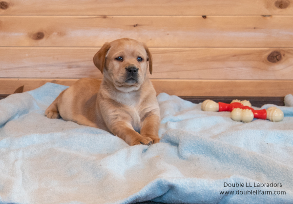Double LL Labradors - SK Yellow Labs CKC registered