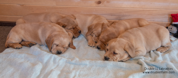 Double LL Labradors - CKC registered Lab pups - SK