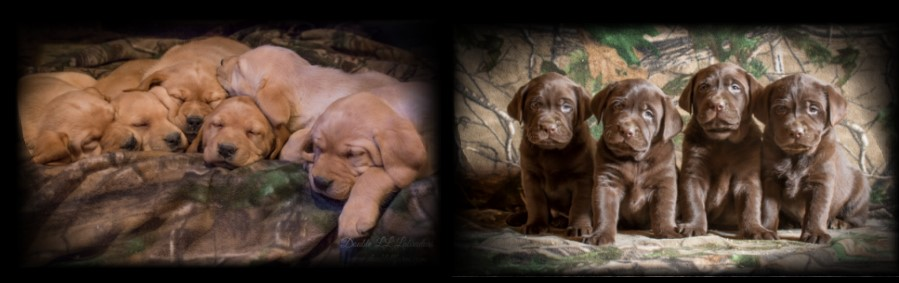 Double LL Labradors - Chcolate and Yellow Lab pups SK