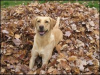 Amber - yellow Lab
