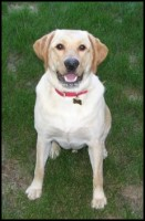 Buddy - yellow Lab