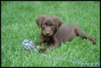 Double LL Farm - Kodiak - chocolate Lab